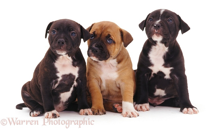 Brindle and red Staffordshire Bull Terrier puppies, 6 weeks old, white background