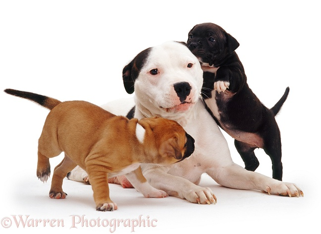 Staffordshire Bull Terrier bitch Lola-Love with red and brindle puppies, 6 weeks old, white background
