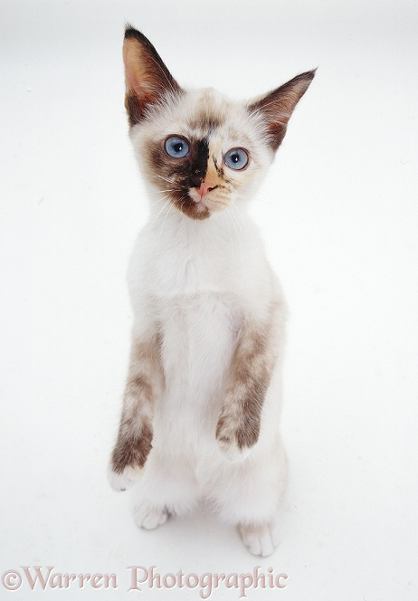 Tortie-point Burmese-cross catten, 13 weeks old, standing up, white background