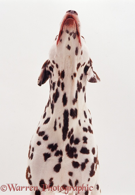 Dalmatian howling, white background