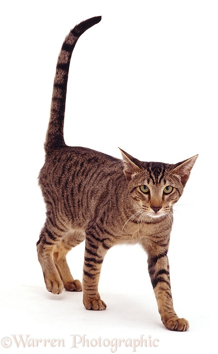 Oriental brown spotted tabby cat photo - WP07509 Tabby Cat