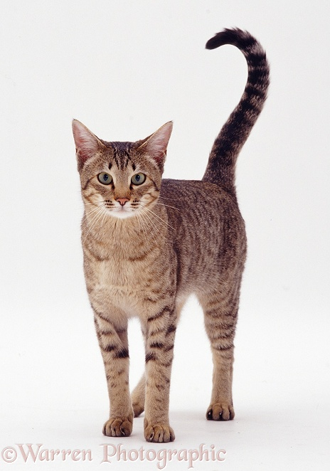 Brown spotted Bengal x Siamese cat Sadie, white background