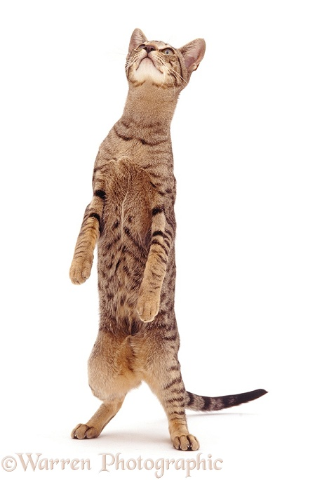 Oriental Tabby female cat standing, white background