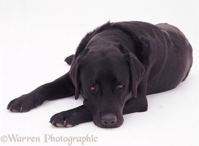 Black Labrador dog Murphy lying with his chin on the floor, white background
