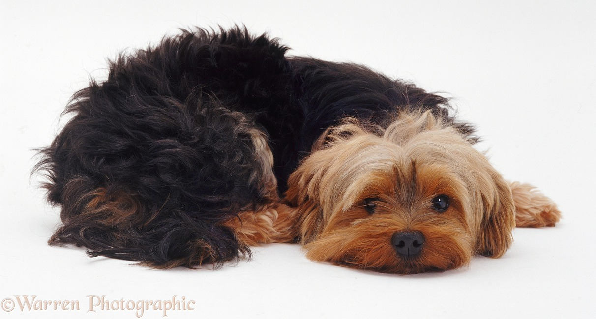 Yorkshire Terrier with its chin on the ground, white background