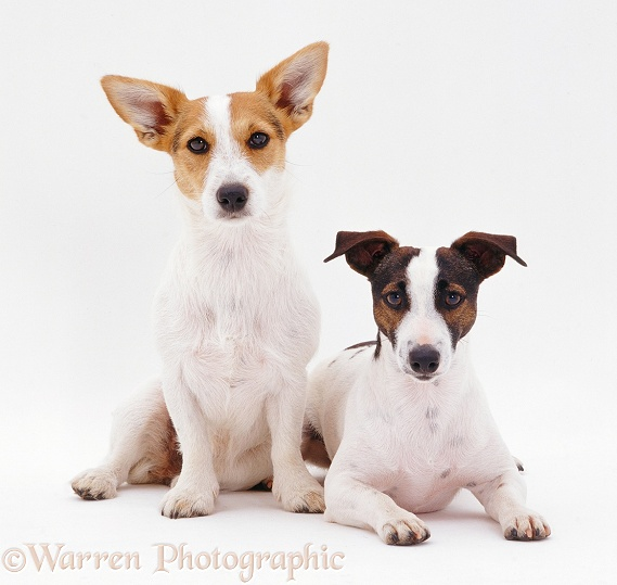 Jack Russell Terriers, white background