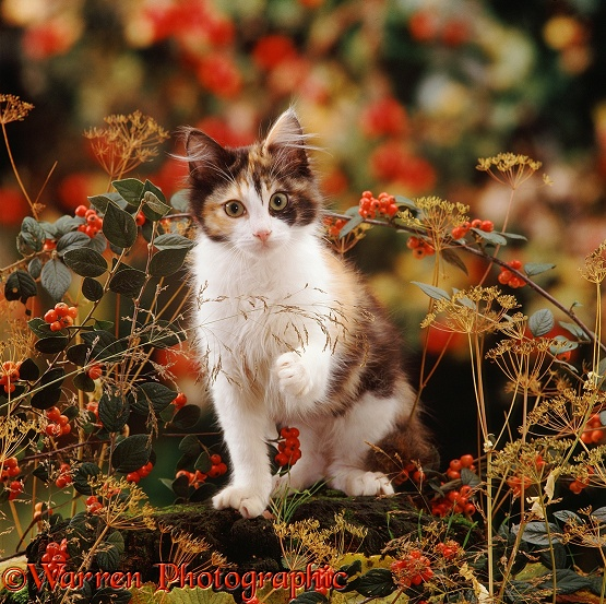 Young tortoiseshell-and-white cat, Monocle, among cotoneaster berries and ground elder seedheads