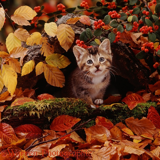 Tabby kitten among autumn beech leaves and cotoneaster berries