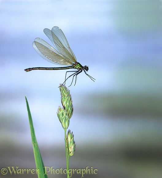 Beautiful Demoiselle Damselfly (Calopteryx virgo) female taking off from Cocksfoot grass