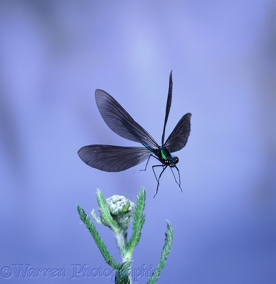 Beautiful Demoiselle Damselfly (Calopteryx virgo) male taking off from Yarrow.  Europe