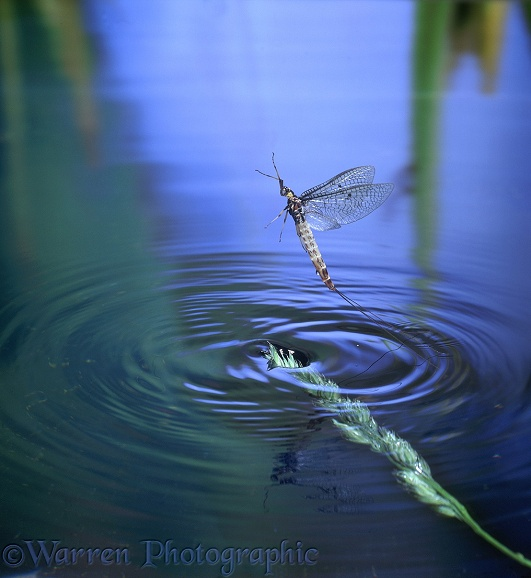 Mayfly (Ephemera danica) adult female taking off from water
