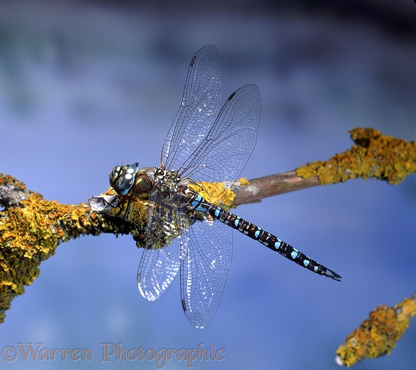 Common Hawker Dragonfly (Aeshna juncea) male resting on lichen-covered Elder.  Europe
