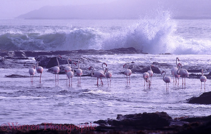 Flamingos and rough sea