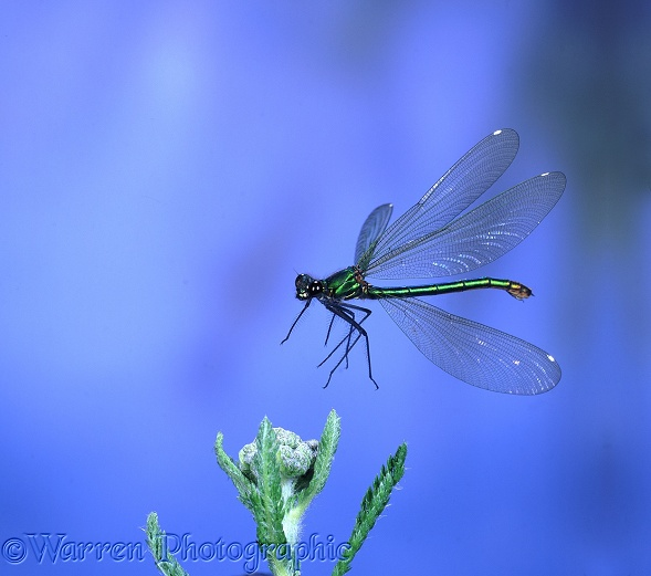 Beautiful Demoiselle Damselfly (Calopteryx virgo) female taking off from Yarrow.  Europe