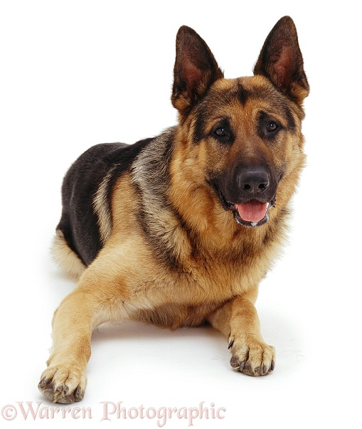 German Shepherd Dog Max lying down with head up, white background