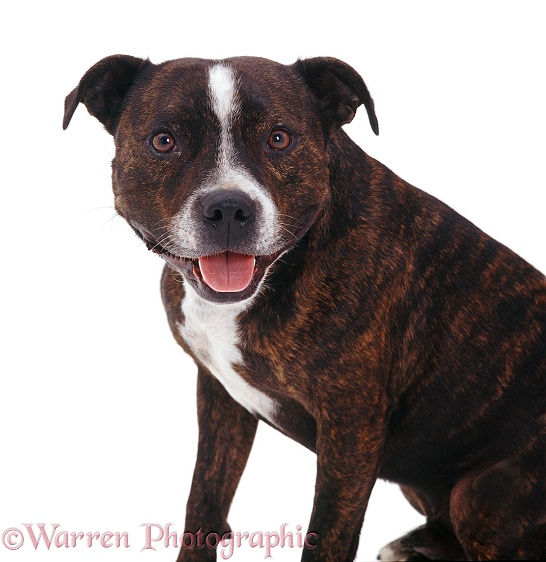 Staffordshire Bull Terrier Buster sitting, white background