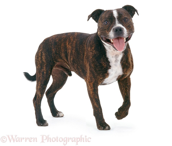 Staffordshire Bull Terrier Buster standing, white background
