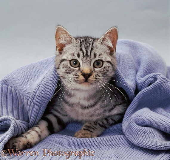 Silver-spotted kitten with blue pullover