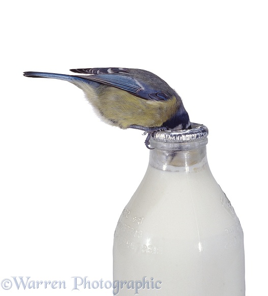 Blue Tit drinking cream from milk bottle
