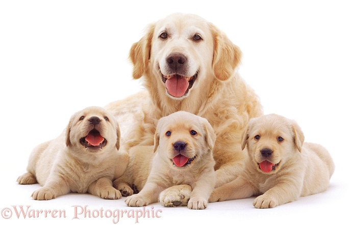Retriever mother and puppies, white background
