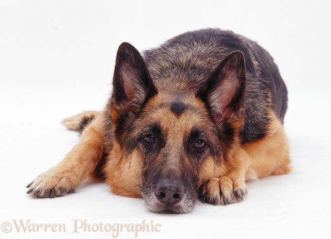 German Shepherd Dog Jet with his chin on the floor, white background