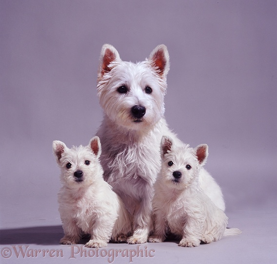 West Highland White Terrier bitch, Mayo with two of her pups, 7 weeks old