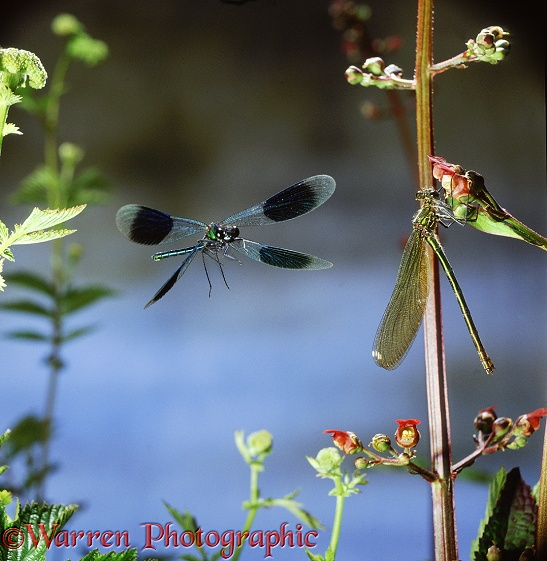 Banded Demoiselle or Banded Agrion Damselfly (Calopteryx splendens) male approaching perched female.  Europe