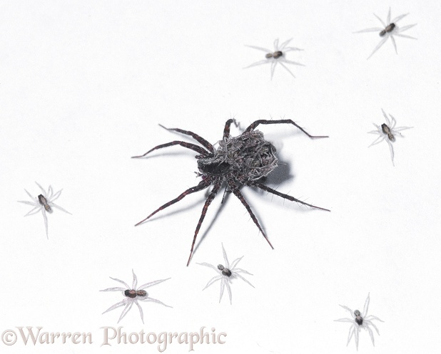 Meadow Spider (Pardosa amentata) female with her offspring, white background