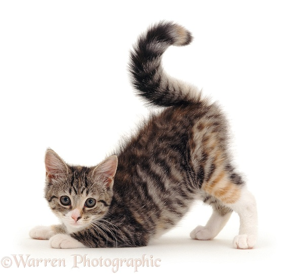 Striped tabby or mackerel tortoiseshell-tabby kitten pouncing, her tail making a '?', white background