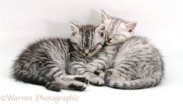 Sleeping silver tabby (Chinchilla x Persian) kittens. 8 weeks old, white background
