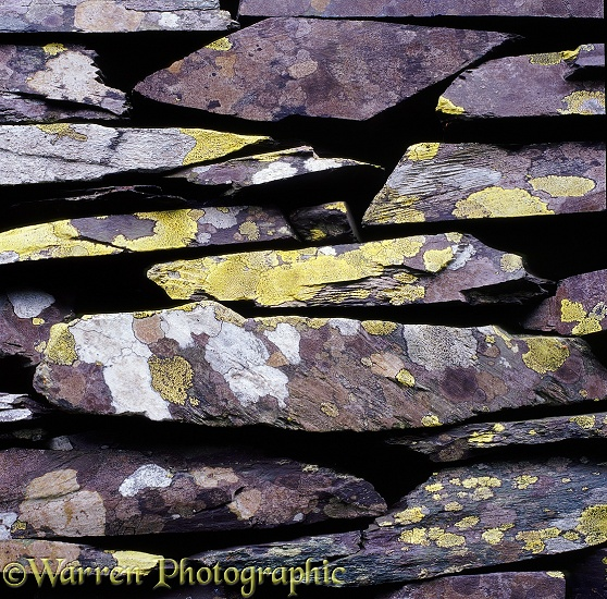 Slate stone wall with lichen.  Wales