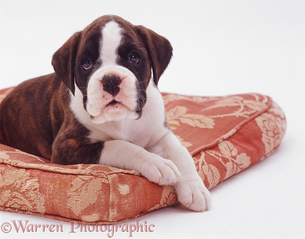 Brindle-and-white Boxer pup, 5 weeks old, white background