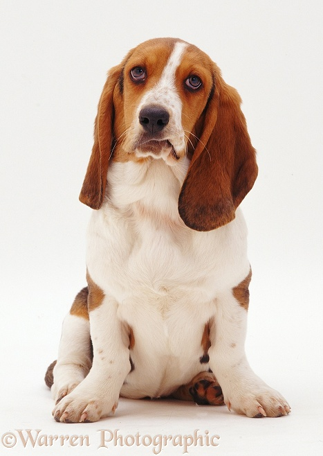 Basset Hound Emily, sitting, white background