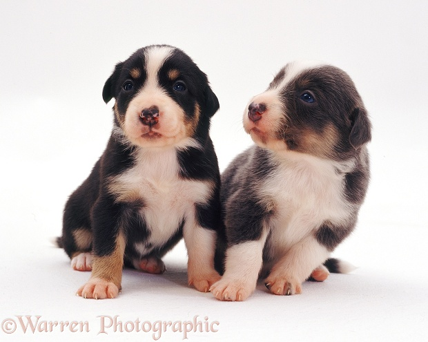 Two Border Collie pups, 3 weeks old