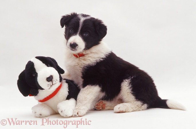 Black-and-white Border Collie pup Phoebe with Border Collie pup soft toy, white background