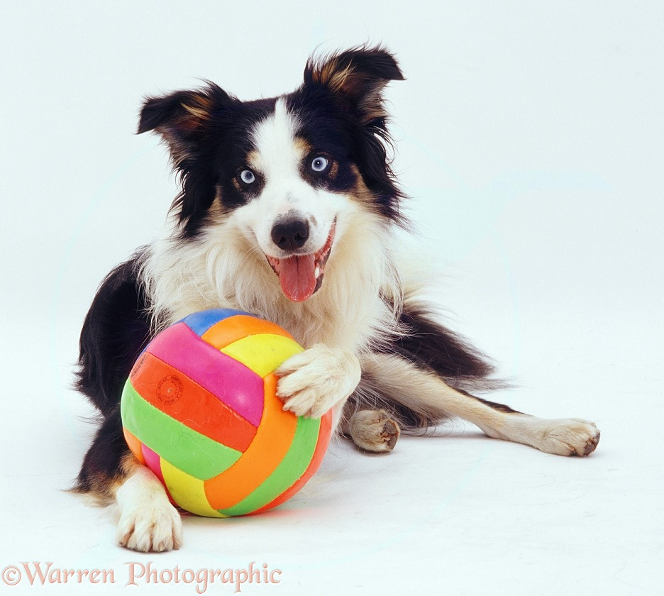 Border Collie dog with colourful ball, white background
