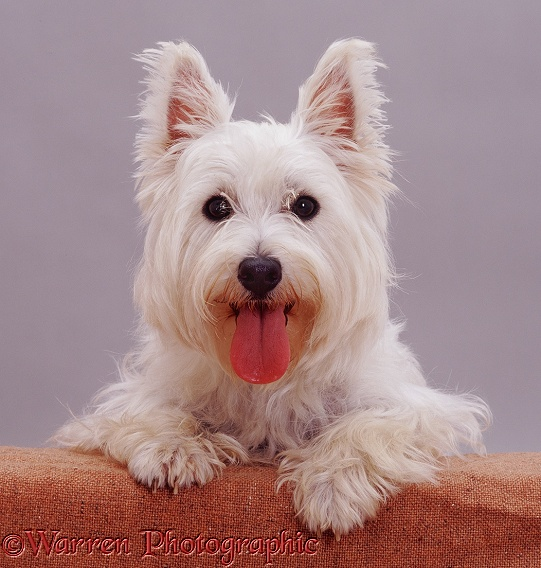 Westie with paws up