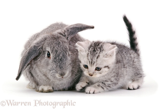 British Shorthair silver-spotted kitten, 8 weeks old, with silver Lop rabbit, white background