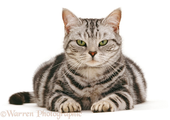 Silver tabby British Shorthair cat Zelda, pregnant, white background