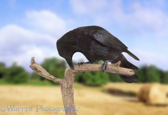 Carrion Crow (Corvus corone) wiping its beak.  Europe