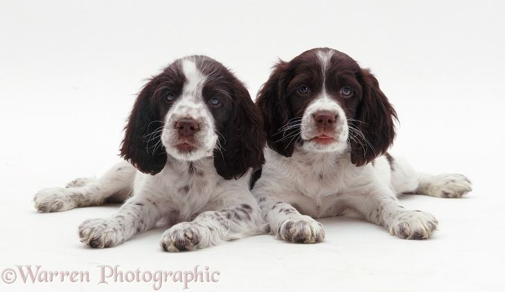 English Springer Spaniel pups, 8 weeks old, white background