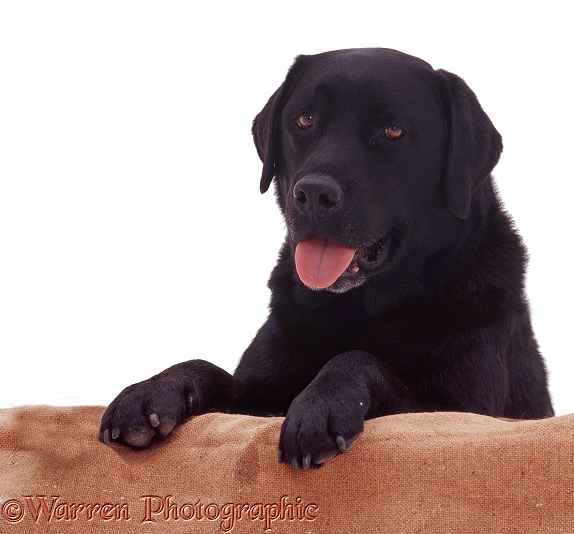 Black Labrador Retriever Murphy with paws on 'wall', white background