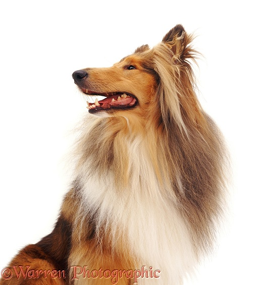 Rough Collie Hadley, white background