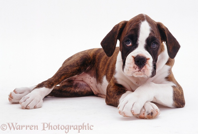 Brindle-and-white Boxer pup Carrey, 9 weeks old, lying down with front paws crossed, white background