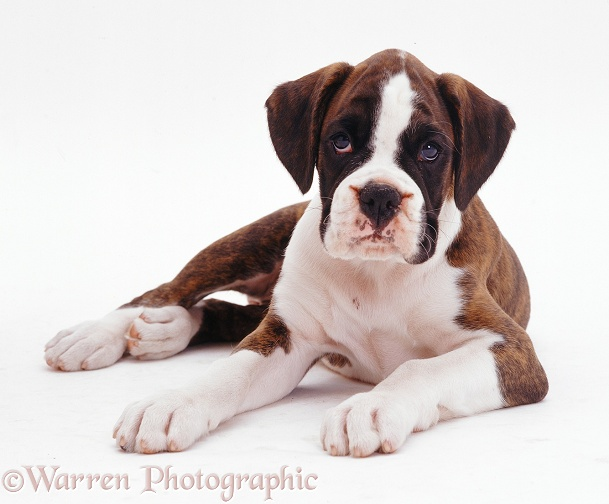 Brindle-and-white Boxer pup Carrey, 9 weeks old, lying down, white background