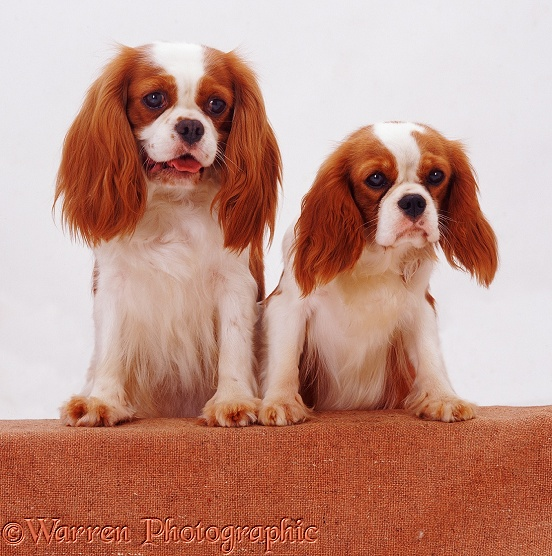 Blenheim Cavalier King Charles Spaniel mother Megan and daughter Poppy with feet up on a wall, white background