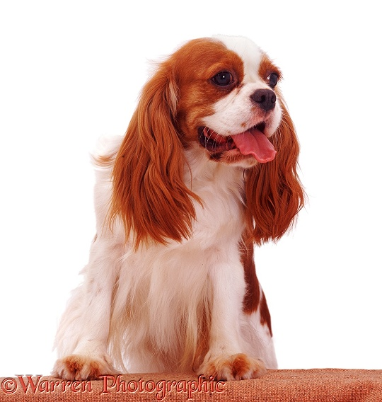 Blenheim Cavalier King Charles Spaniel bitch Megan with feet up on wall, white background