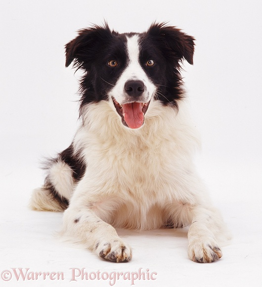 Black-and-white Border Collie dog Tai lying down, white background