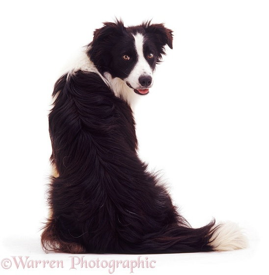 Black-and-white Border Collie dog Tai sitting, back view, looking over his shoulder, white background