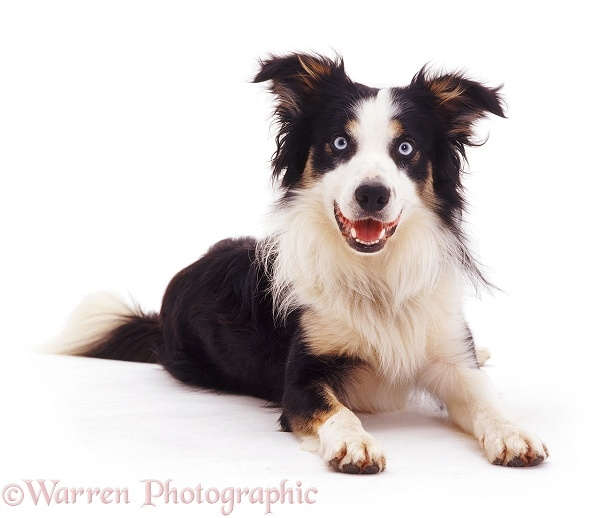 Tricolour Border Collie dog Baloo lying with head up, white background
